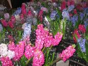 Тюльпаны и гиацинты к 8 марта