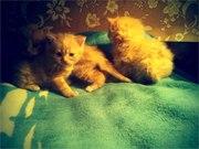 Британский красный котенок